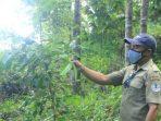 Pakoba, Kayu Endemik Sulawesi Utara yang Kaya Manfaat