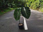 Philodendron Glosarium dan 7 Pertanyaan Penting Seputar Cara Perawatannya!