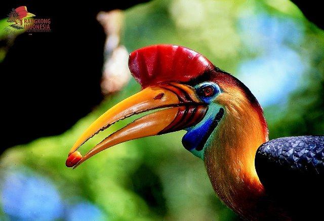 Burung Julang Sulawesi, Si Petani Hutan Diambang Kepunahan