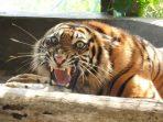 """Harimau Sumatera """"Ciuniang Nurantih"""" Dilepasliarkan di TN Kerinci"""