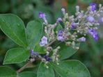 Mengenal Legundi, Tanaman Herbal Beragam Khasiat