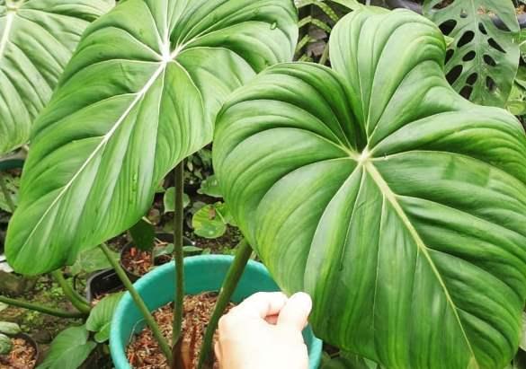Philodendron Pastazanum, Tanaman Daun Berbentuk Hati yang Indah