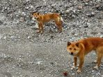 Sempat Dikabarkan Punah, Anjing Bernyanyi Papua Ditemukan Di Kawasan Tambang