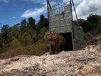 Suro, Harimau Sumatera yang Akhirnya Kembali ke Habitatnya di TN Gunung Leuser