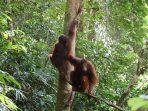 3 Individu Orangutan Dilepasliarkan di Taman Nasional Betung Kerihun