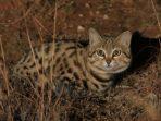 Black Footed Cat, Kucing Liar Pemangsa dari Benua Afrika