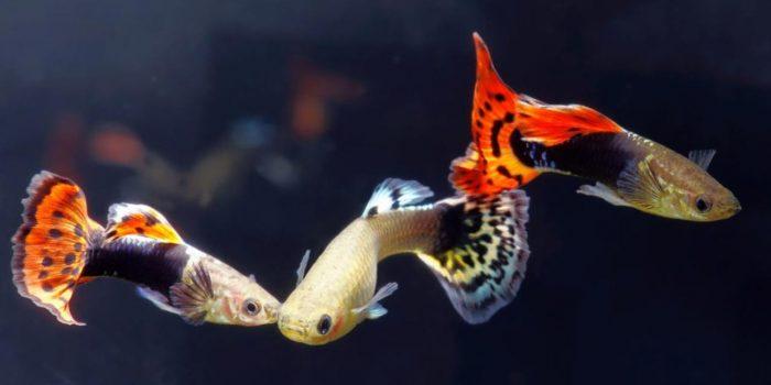 Guppy, Ikan Hias Primadona Sejuta Umat