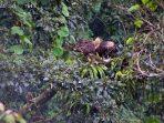 Selamat Datang Prawara, Elang Jawa Penghuni Baru Taman Nasional Gunung Halimun Salak