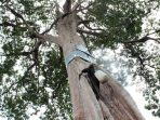 Usai Ditetapkan KLHK sebagai Flora Dilindungi, Ini Sanski Perusak Pohon Sialang!
