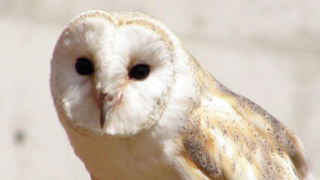 Menghilang Lebih Seabad, Burung Hantu Ini Kembali Muncul