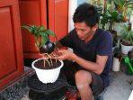 Cerita Seorang Seniman Bonsai Kelapa di Pasangkayu, Pembelinya hingga Amerika