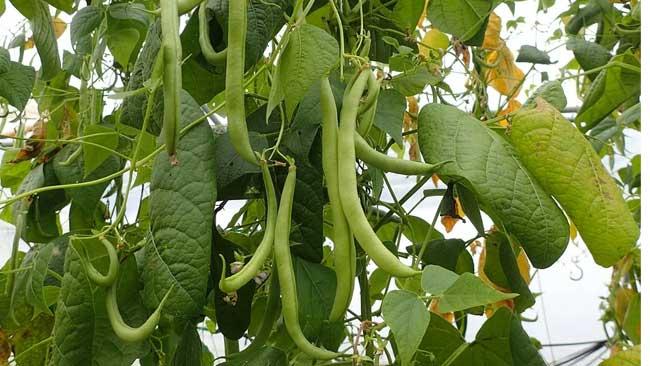 Menyibak Manfaat Tanaman Sayuran Buncis dan Cara Membudidayakannya