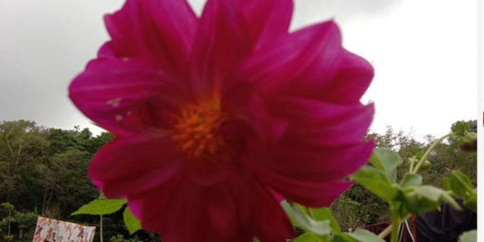 Kisah Bunga Dahlia dari Beranda Rumah Puang Roncing