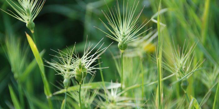 Falsafah Gulma, Tumbuhan yang Dilabeli Pengganggu Tanaman Lain