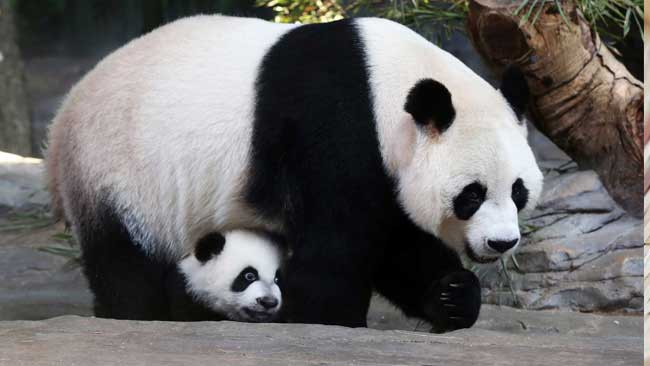 4 Tahun Absen Bersalin, Panda Raksasa Kembali Melahirkan di Tokyo
