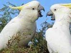 Ini 10 Jenis Burung yang Pulang Kampung ke Papua dari Pulau Jawa