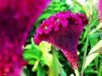 Manfaat Bunga Jengger Ayam dan Cara Meraciknya untuk Ragam Pengobatan