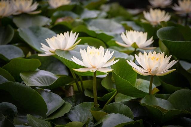 Mengenal Bunga Teratai, Filosofi dan Manfaatnya