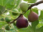 Pohon Tin, Ciri dan Manfaatnya untuk Pengobatan