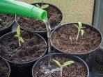 Bagaimana Pengaruh Kadar Air terhadap Pertumbuhan Tanaman?