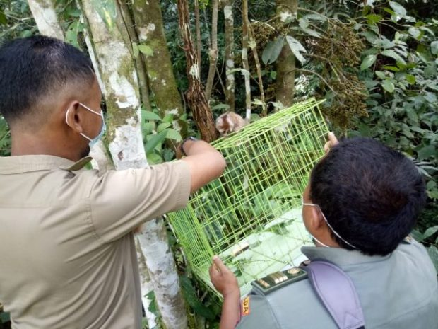 HKAN diwarnai Momen Pelepasliaran Satwa, Tukik di Lombok dan Kukang di Agam