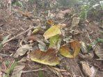 Mengapa Pohon Jati Menggugurkan Daunnya di Musim Kemarau