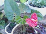 Selain Indah, Anthurium Bunga Ini Punya Hal Spesial yang Membahagiakan