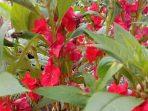 Pacar Air, Pewarna Alami dengan Beragam Warna Bunga yang Menggoda