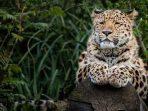 Macan Tutul Amur Terancam Punah, Ini 3 Penyebab Utamanya!
