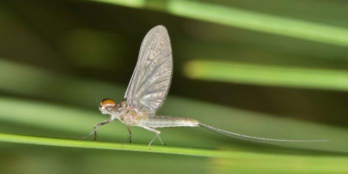 Mayfly, Serangga Berumur Pendek yang Menjadi Indikator Perairan