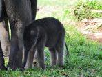 Hari Satwa Sedunia, Gajah Masih Jadi Sasaran Perburuan Liar
