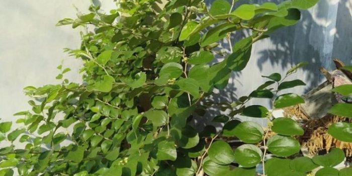 Mengenal Pohon Bidara, Tanaman yang Dipercaya dapat Mengusir Makluk Halus