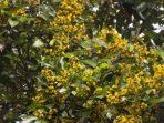 Hanya Ada di Sulawesi, Nasib Pohon Kalapi Semakin Memprihatinkan