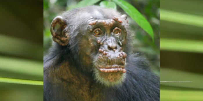 Kusta pada simpanse liar